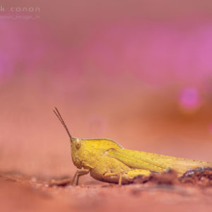"Goniaea australasiae - ""Gumleaf Grasshopper"""