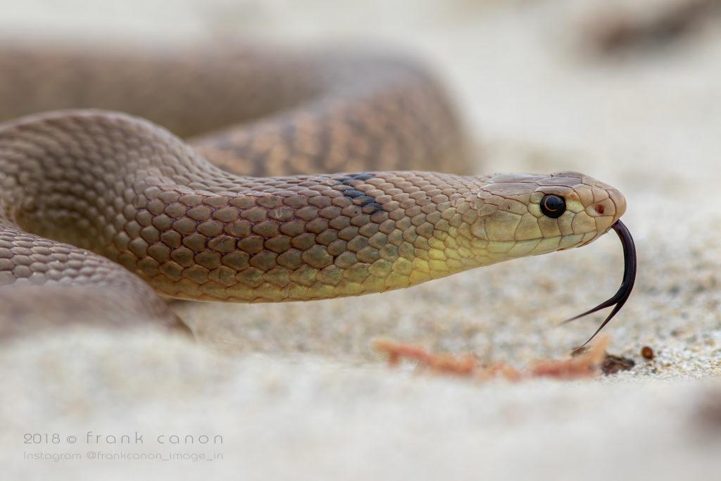 "Pseudonaja mengdeni - ""Mengden's Brown Snake"""