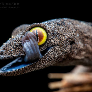 "Strophurus spinigerus - ""Soft Spiny-Tailed Gecko"""