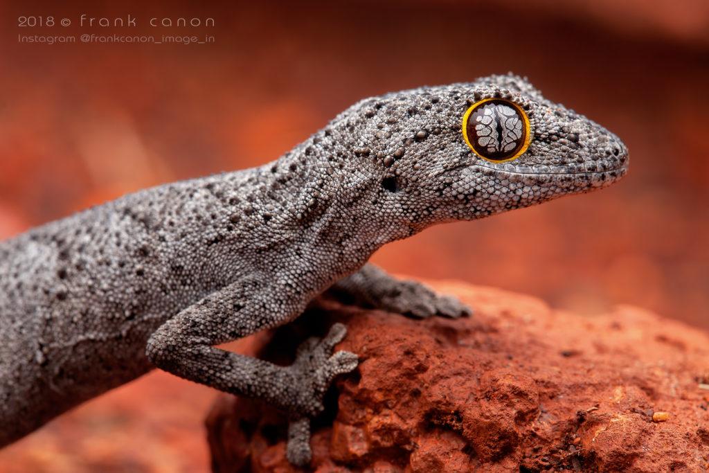 "Strophurus strophurus - ""Western Spiny-Tailed Gecko"""