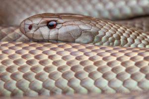 "Pseudechis australis - ""Mulga Snake"""