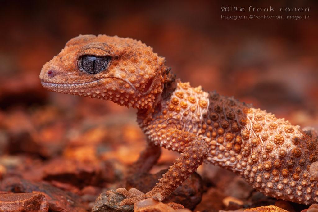 "Nephrurus wheeleri - ""Banded Knob-Tailed Gecko"""