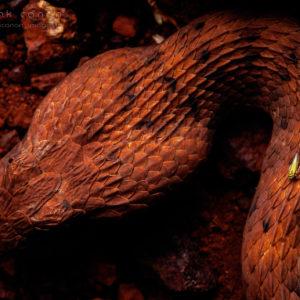 "Acanthophis wellsi - ""Pilbara Death Adder"""