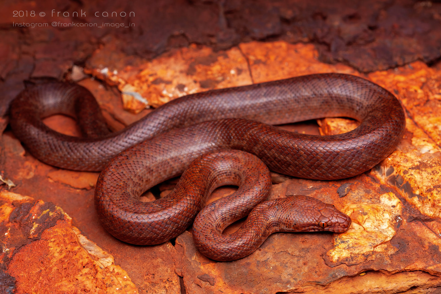 """Antaresia perthensis - """"Pygmy Python"""""""