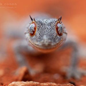 "Strophurus ciliaris aberrans - ""Northern Spiny-Tailed Gecko"""