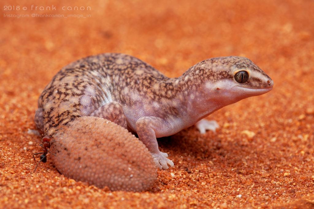 "Diplodactylus bilybara - ""Western Fat-Tailed Gecko"""