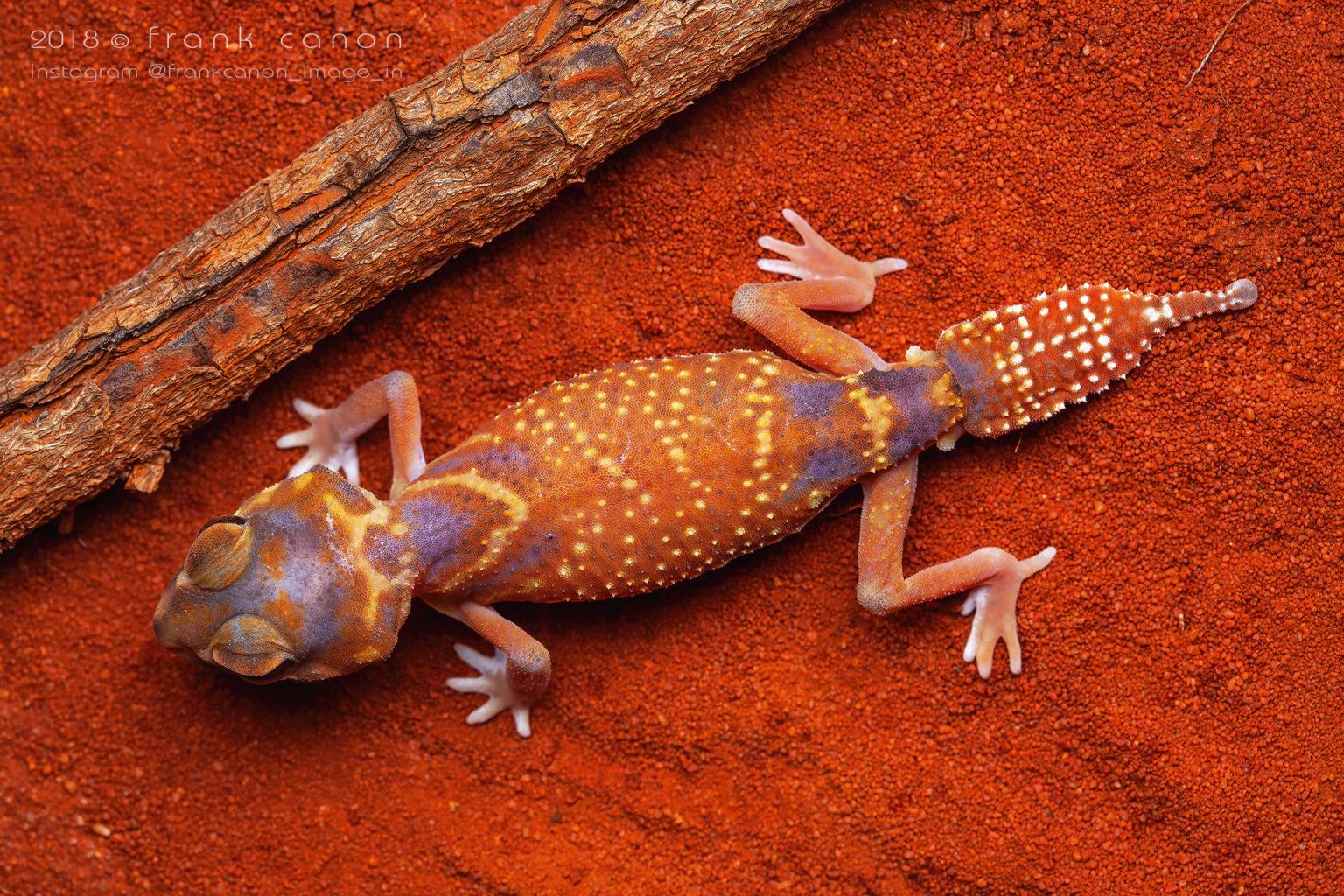 "Nephrurus levis occidentalis - ""Smooth Knob-Tailed Gecko"""