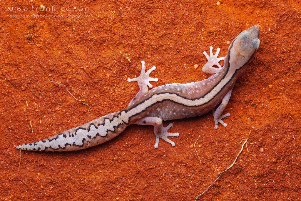 """Diplodactylus klugei - """"Kluge's Gecko"""""""