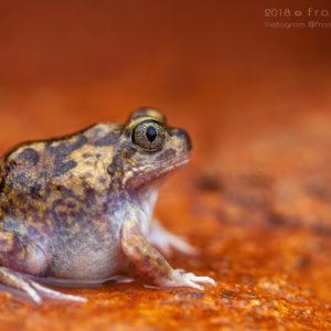 "Neobatrachus sutor - ""Shoemaker Frog"""