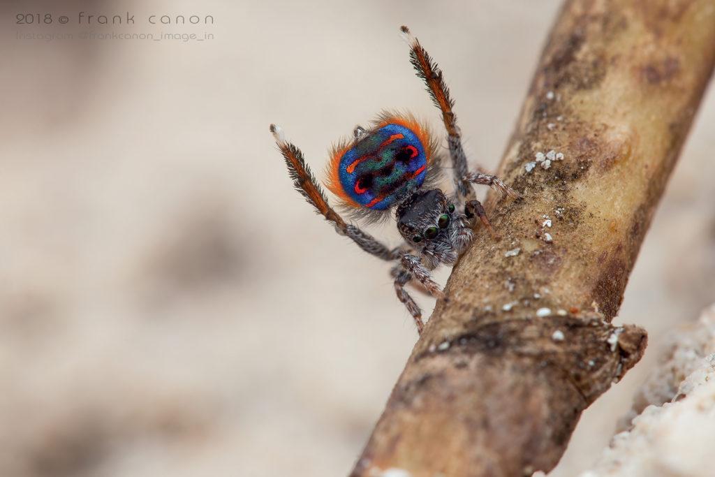 """Maratus speciosus - """"Peacock Spider"""""""